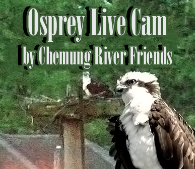 Picture of an Osprey on the WebCam